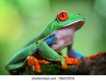 Red eyed tree frog portrait. A tropical animal from the rain forest of Panama and Costa Rica