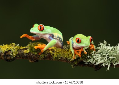 red eyed tree frog sat on branch