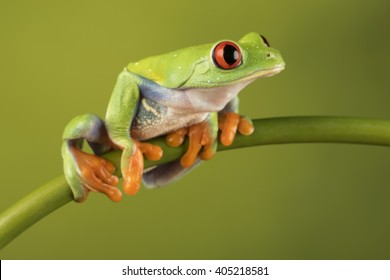 Red Eyed Tree Frog Sitting on a bamboo branch with green background - studio image