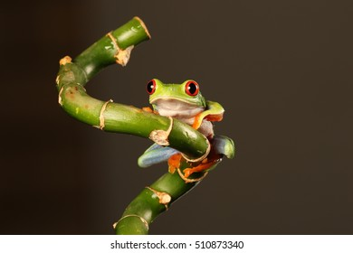 red eyed tree frog - sitting on a bamboo stem