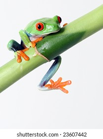 A red eyed tree frog slips off a bamboo shoot