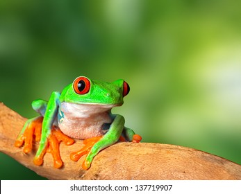 red eyed tree frog in tropical rain forest of Costa Rica. Natural purity and serenity, harmony in nature and a balanced ecosystem form basis of eco tourism conservation and protection of rainforest
