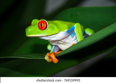 A red eyed treefrog (Agalychnis callidryas) on a banana leaf in Tortuguero National Park, Costa Rica.