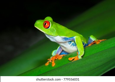 A red eyed treefrog (Agalychnis callidryas) on a leaf at night in Tortuguero National Park, Costa Rica.