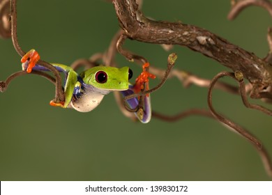 Red Eyed Treefrog climbing a tree