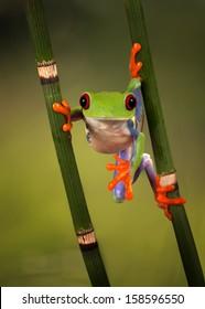 Red Eyed Treefrog hanging around