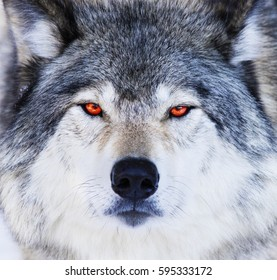 Red eyes wolf portrait
