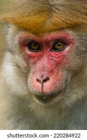 Red Faced Macaque Portrait