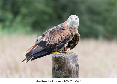 red falcon (the red kite, the famous welsh falcon)