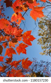 Red Fall Foliage Against Blue Sky