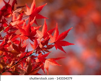 Red Fall Leaves, Japanese Maple with blurry background