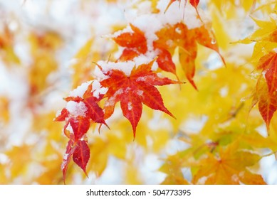 red fall maple tree covered in snow / hokkaido japan