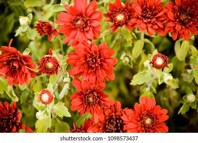 Red Fall Mums