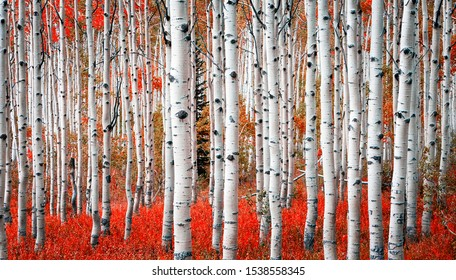 Red fall panorama in the Aspen Glades, Utah, USA.