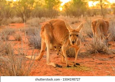 中央オーストラリア郊外の赤い砂の上に、ポケットにジョーイを入れた赤い女性のカンガルー、マクロプス・ルフス。オーストラリア産マルスピアル、北部地域、赤い中央。夕焼けの光。