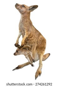 Red female kangaroo, Macropus rufus, with a baby in her pocket, isolated on white background. Concept of tenderness, protection and love.