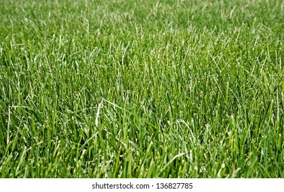Red Fescue is said to be a low-maintenance ground cover. It is beneficial for erosion control and tends to attract wildlife to the lawn.
