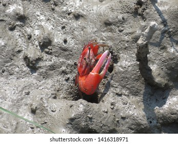 Red Fiddler Crab showing off Claw in Sundarbans