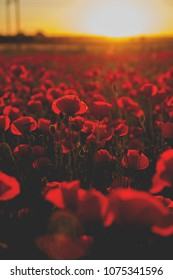 A red field full of wild common poppies at sunset