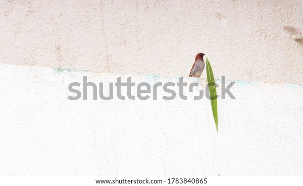 Red Finch trying to make nest around building