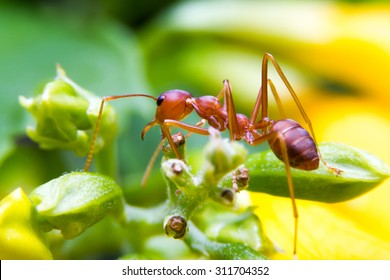 red fire ant worker on yellow backgrond