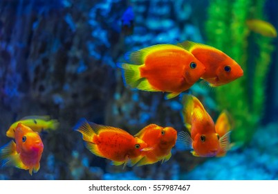 Red fish under water . The accumulation of the seven fishes according to Feng Shui .