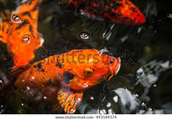 Red fish in water.
