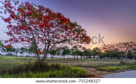 The red Flamboyant ( The Flame tree) with sunset sky