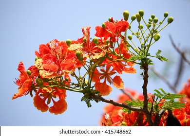 Red Flamboyant flower