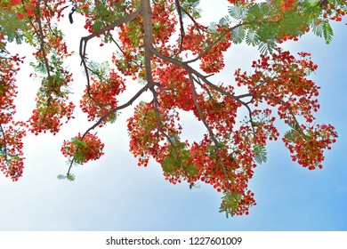 red flamboyant flowers that are blooming against the background of a bright blue sky