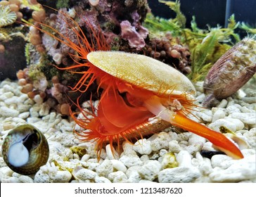 A red flame scallop in marine aquarium. It has a bright red mantel,red tentacles,it has always showed the flashing light display,Ctenoides scaber is a saltwater clam (bivalve mollusc) ,family Limidae.