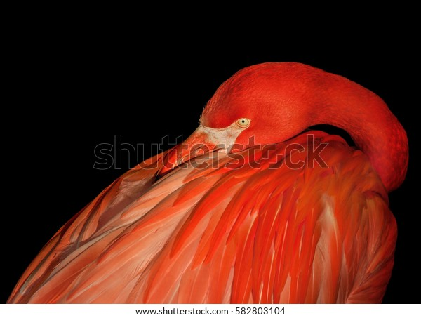 Red flamingo