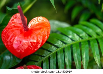 Red flamingo Flower, anthurium, tailflower, or boy flower