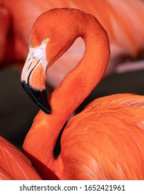 Red flamingo (Phoenicopterus ruber), close up to the Caribbean bird