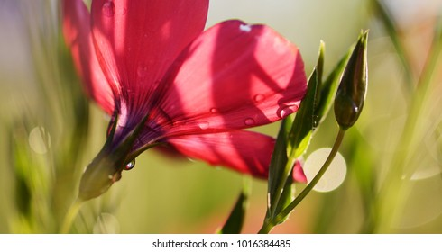 red flax in summer