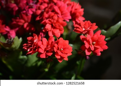 Red Florist kalanchoe Calandiva - Latin name - Kalanchoe blossfeldiana Calandiva