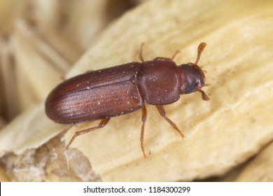 The red flour beetle Tribolium castaneum on the barley grain. It is a worldwide pest of stored products, particularly food grains.