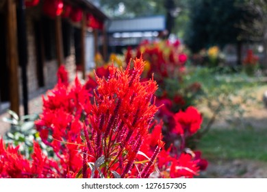 Red flower amaranth family. Celosia plumose plant. Summer flowering plants in a flower bed.