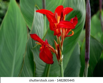 Red flower with big green leaves, Indian shot or African arrowroot, Sierra Leone arrowroot,canna, cannaceae, canna lily, Flowers at the park, nature background
