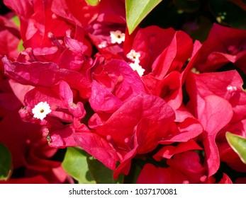 Red Flower blossom