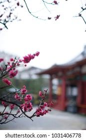 Red flower in blossom during spring season in front of Sensoji Temple,Tokyo Japan