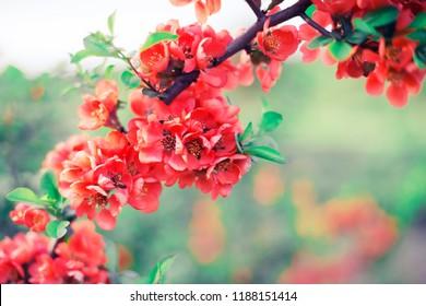 red flower brunches opendoor/ spring blossom background