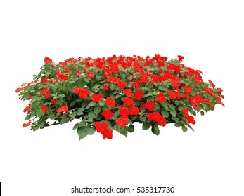 red flower bush tree isolated white background