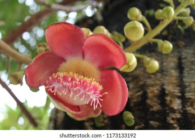 red flower, cannonball tree, cannon ball flower on cannonball tree background