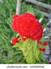 Red flower, Celosia argentea L. var. cristata (L.) Kuntze, Cockscomb, Chinese Wool Flower, AMARANTHACEAE.