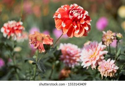Red flower chrysanthemum flowering in the autumn chrysanthemum flower garden.