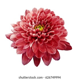 Red flower chrysanthemum.  Flower on white  isolated background with clipping path.  Closeup. no shadows. Nature.