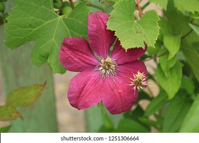 Red flower clematis closeup