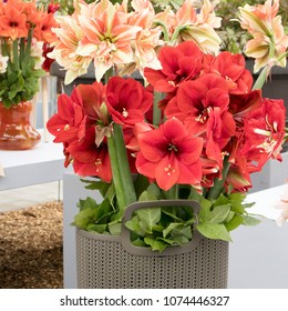 The red Flower Of Cluster Amaryllis in botanical garden