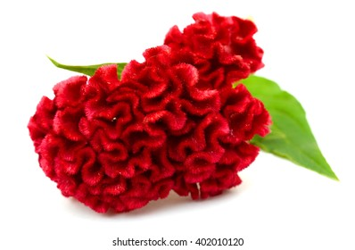 Red flower, Cockscomb or Chinese Wool Flower (Celosia argentea), isolated on a white background